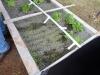Lettuce Seedlings at Belmont Aquaponics Unit