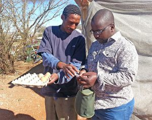 inspecting-eggs-in-sa